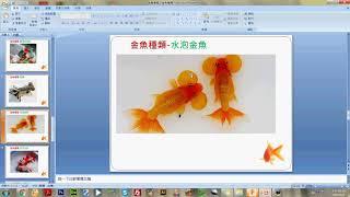 金魚的種類介紹