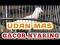 Burung Perkutut Udan Mas Gacor Suara Istimewa Merbok Kampung  Mp3 - Mp4 Download