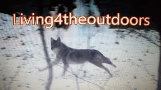 2013 Flintlock Muzzleloader Whitetail Hunt (With Coyote Footage and Kill Shot)
