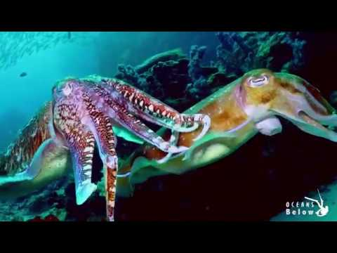 Cuttlefish Laying Eggs