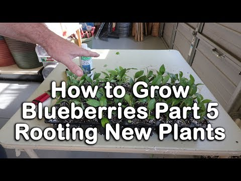 How To Grow Blueberry Bushes Part
