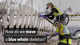 Examining the blue whale: the move begins | Natural History Museum