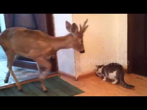 Wild deer enters home to share meal with cat