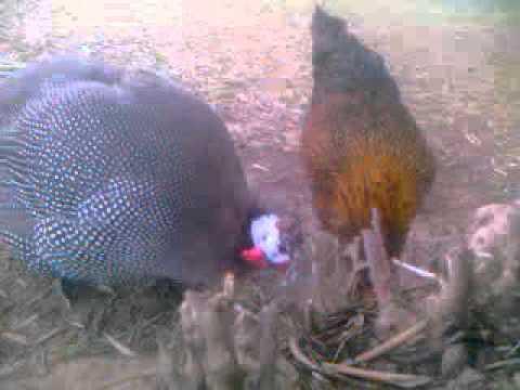 Chicken and turkeys Free in nature - תרנגול הבית ו תרנגולי הודו חופשיים בטבע