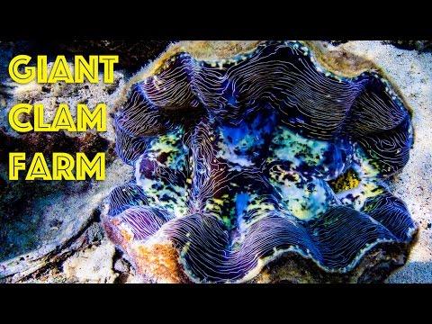 Giant Clam Farm in Palau