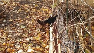 Прибыли золотые фазаны