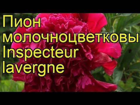 Пион молочноцветковый Инспектор Лаверн. Краткий обзор paeonia lactiflora Inspecteur lavergne