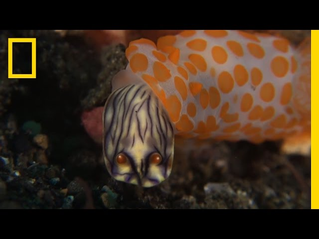 This Sea Slug Eats Its Own Kind | National Geographic