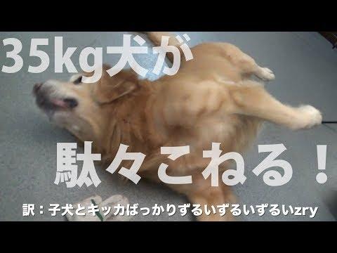 昨日の続き:仔犬に嫉妬して暴れるゴールデンレトリバー