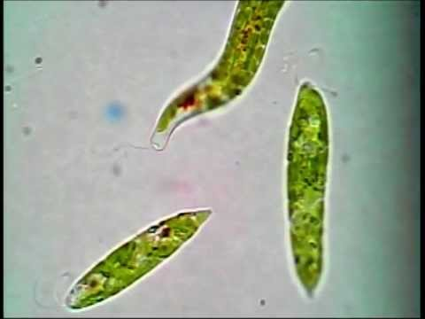 List of synonyms and antonyms of the word euglena euglena stock images royalty free images vectors shutterstock ccuart Images