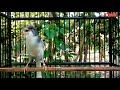 Kenari Panda Gacor Ampuh Pancing Kenari Malas Bunyi  Mp3 - Mp4 Download