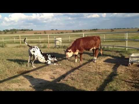 Great Dane Leo plays with Violet the cow!