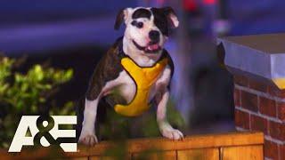 Bulldogs & Pit Bulls Run K9 Obstacle Course,Top 5 Underdog Runs | America's Top Dog (Season 1) | A&E