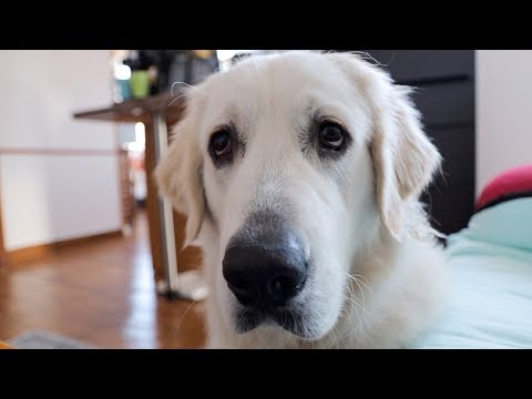 Funny Dog Asks for Popcorn: Cute Golden Retriever Dog Bailey
