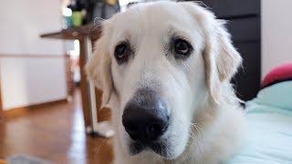 Funny Dog Asks for Popcorn: Cute Golden Retriever Dog Bailey