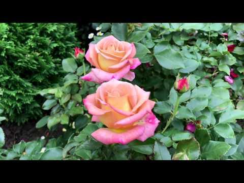 Болезни роз: ложная мучнистая роса - не путать с черной пятнистостью!