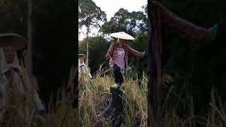 Download Tarian dayak bahau saat panen padi