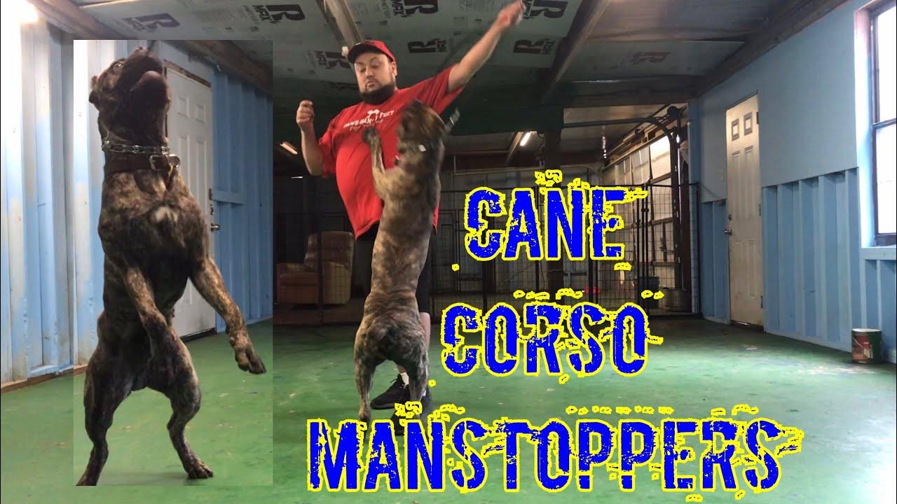Guard Dog Training 4 Cane Corso Males