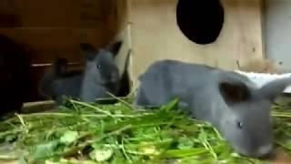 Крольчата начинают выходить из гнезда// Венчики 21 день