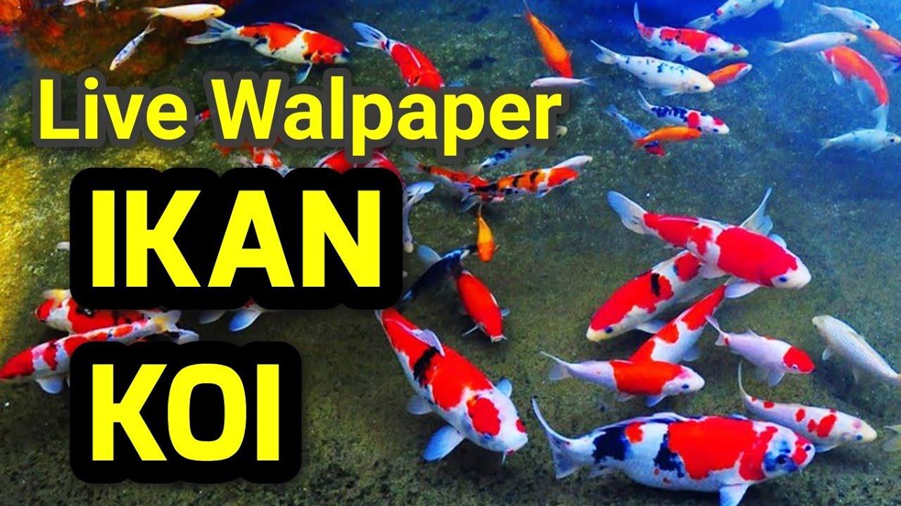 Live Walpaper Ikan Koi Paling Keren Youtube