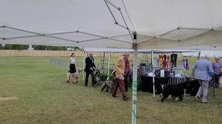 Afghan Hound Club of Dallas Specialty Show on 20210501  Linda Lobb