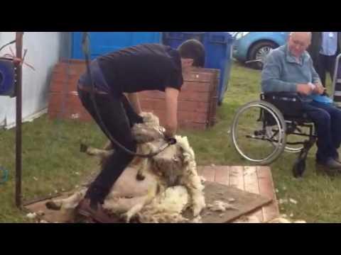 Sheep shearing at Kinross show 2017