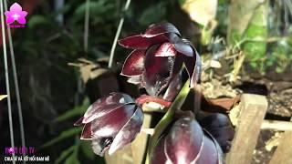 Ngọc Trai Đen Huyền Bí Thường Bị Gọi Nhầm Là Thiên Nga Đen [Hoalan Orchids TV]