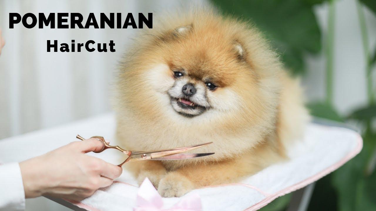 Tutorial Video! Pomeranian Grooming - How to Cut Pomeranian Hair