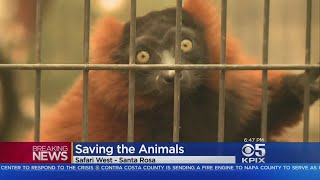 Animals At Safari West Park In Santa Rosa Safe From Destructive Fire So Far