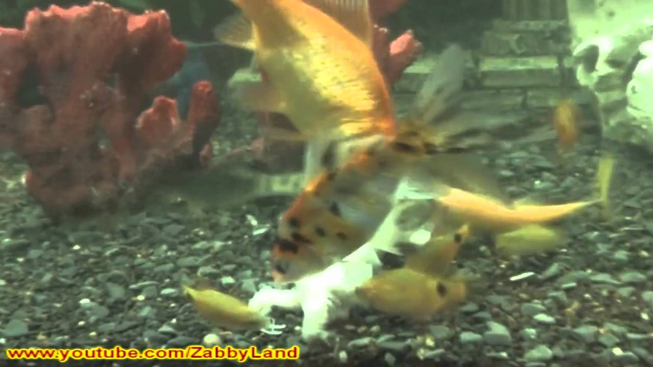 Fish in tank died - Fish Tank Frenzy Dead Axolotl