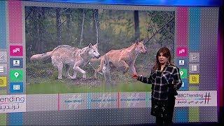 بي_بي_سي_ترندينغ: بالفيديو ..كويتيون يصطادون ذئبا وهيئة البيئة تناشدهم عدم قتله أو تعذيبه