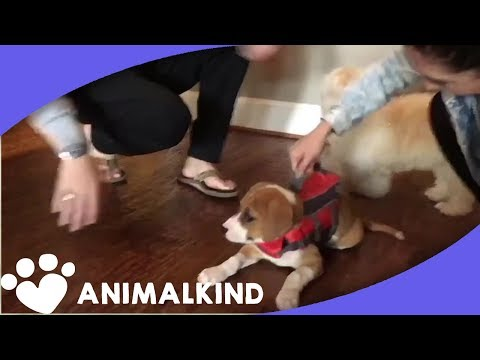 Adorable puppy can't stop falling over