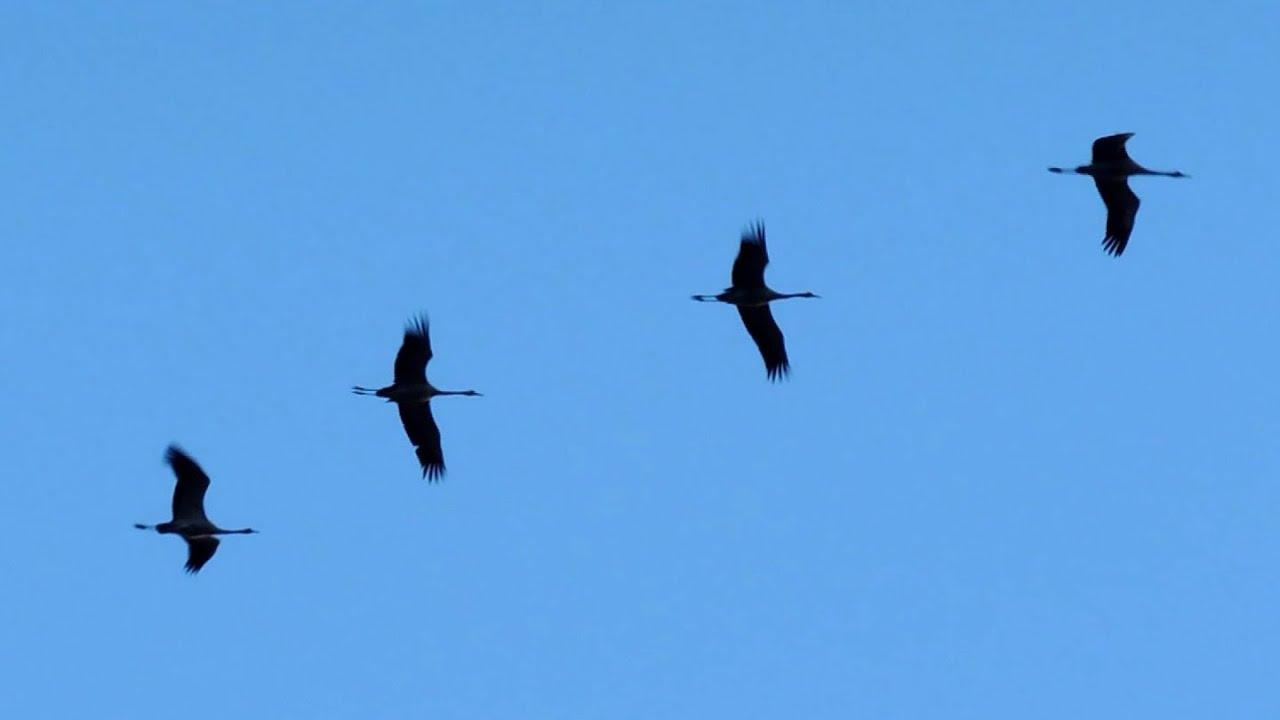 Tranor flyger över Uppland 17.34 den 13 mars 2014 - YouTube