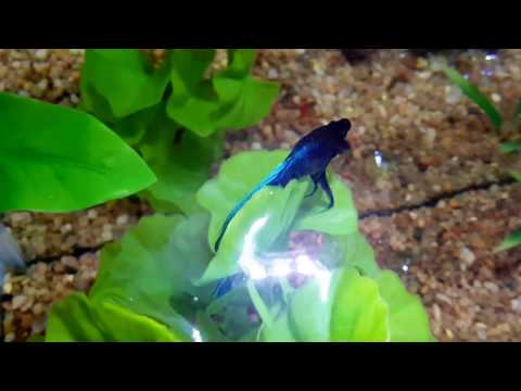 Betta Fish Lovers - Dropsy CAN Be Cured!!!