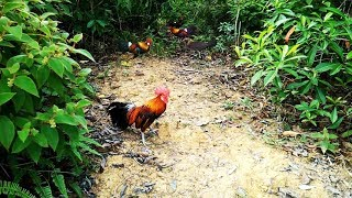 RED JUNGLEFOWL~ HOW TO DRAWN / CATCH / GETTING / CHARGING THE RED JUNGLEFOWL