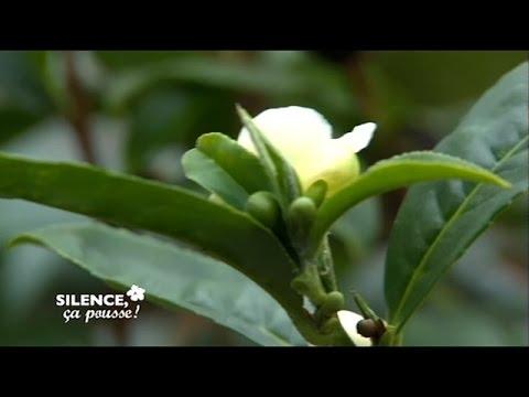 Comment planter le Camélia sinensis - Silence, ça pousse !