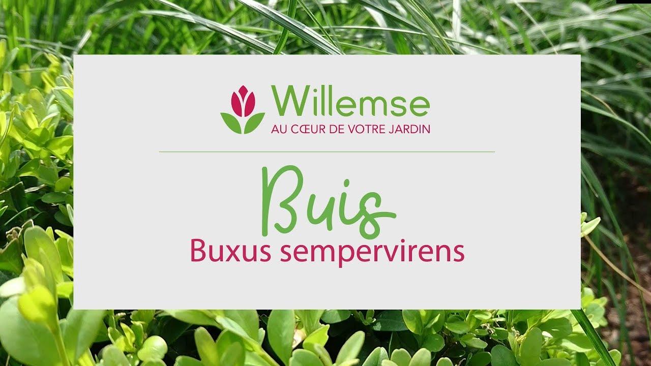 Planter Une Bordure De Buis buis : achat / vente de buxus arbuste buissonnant et compact