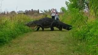 Video Shows Massive Alligator In Lakeland