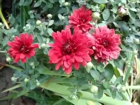 Хризантема садовая многолетняя кустовая (Chrysanthemum)