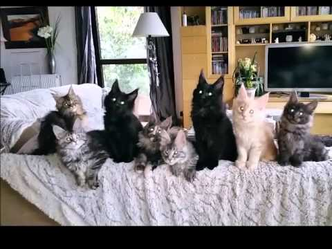 Chatons Maine-Coon