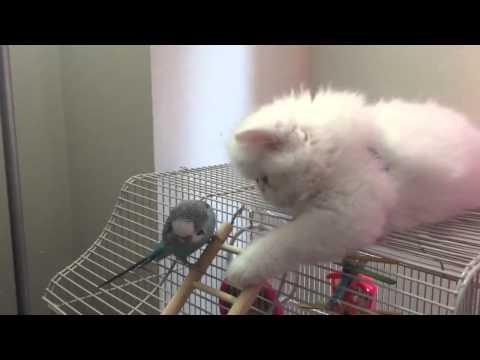 Curious White Persian Kitten befriends parrot