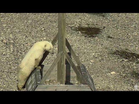 Polar Bear Sleuth ~ 8.13.16 Wapusk Nat'l Park, Cape Churchill, Manitoba