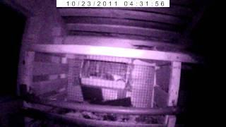Как поймать хорька(Съемка велась видеорегистратором в сарае ночью. В клетке 2-месячный цыпленок. Для поимки использовались..., 2011-10-24T18:27:44.000Z)