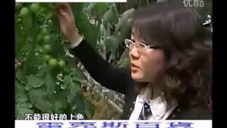 西紅柿 番茄 電動授粉器 溫室大棚番茄震動授粉機 替代人工授粉