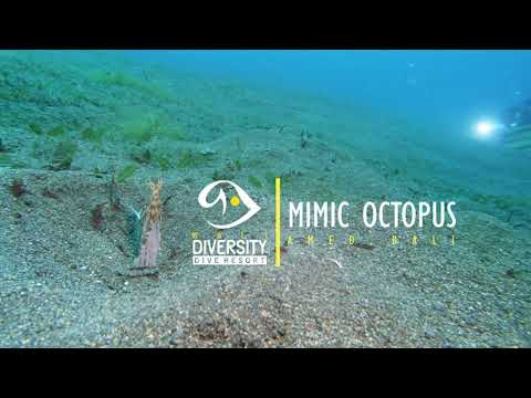 The mesmerizing Mimic Octopus on a hunt