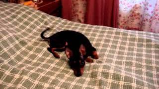Купить щенка той терьера: Егоза играет.