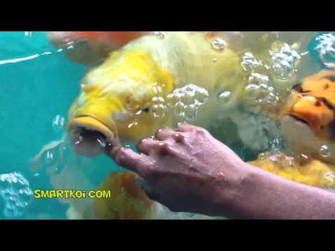 Petting Monster Jumbo Koi - real close up