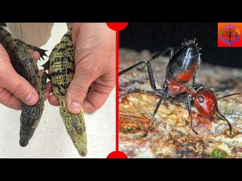 Colour-Changing Crocodiles & Exploding Ants - 7 Days of Science