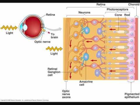 Human Eye: 02: Retina