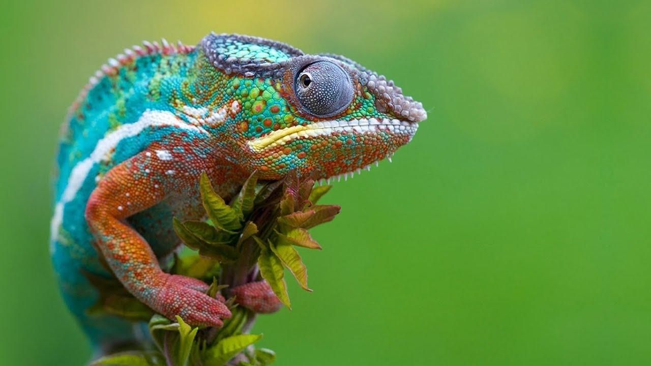 Resultado de imagen de camaleon
